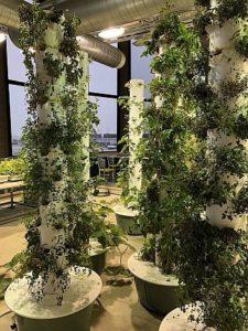 The aeroponic garden in Terminal 3's Rotunda provides fresh greens to restaurants. (Photo by Pamela McKuen)